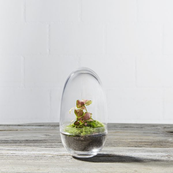 mini-flaschengarten-terrarium-moos-egg-bubble-small-fittonia